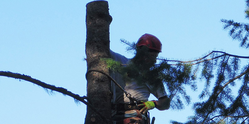 tree professional limbing large tree
