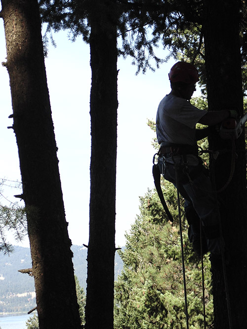 Arborist performing tree maintenance
